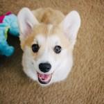 19 Corgi Puppy Gifs And Photos To Make You Smile