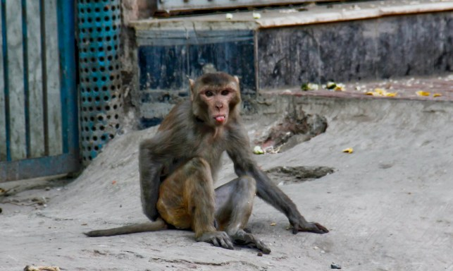 Monkeys attack lab worker, steal COVID-19 samples as 2020 continues to use critters to try to kill us all
