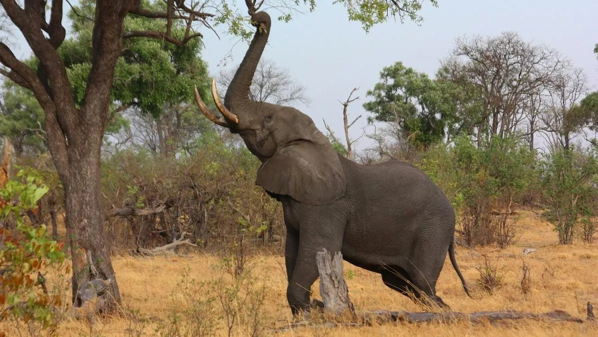 They also have a different number of toenails. Africa S Elephants Are Two Different Species And Both Are Endangered Ecowatch