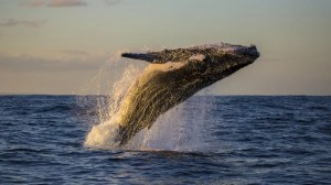 Climate Change Affects Gibberish Whale Migration