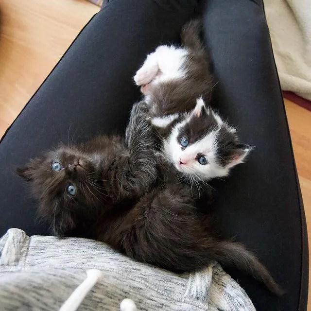 lap cat, kittens