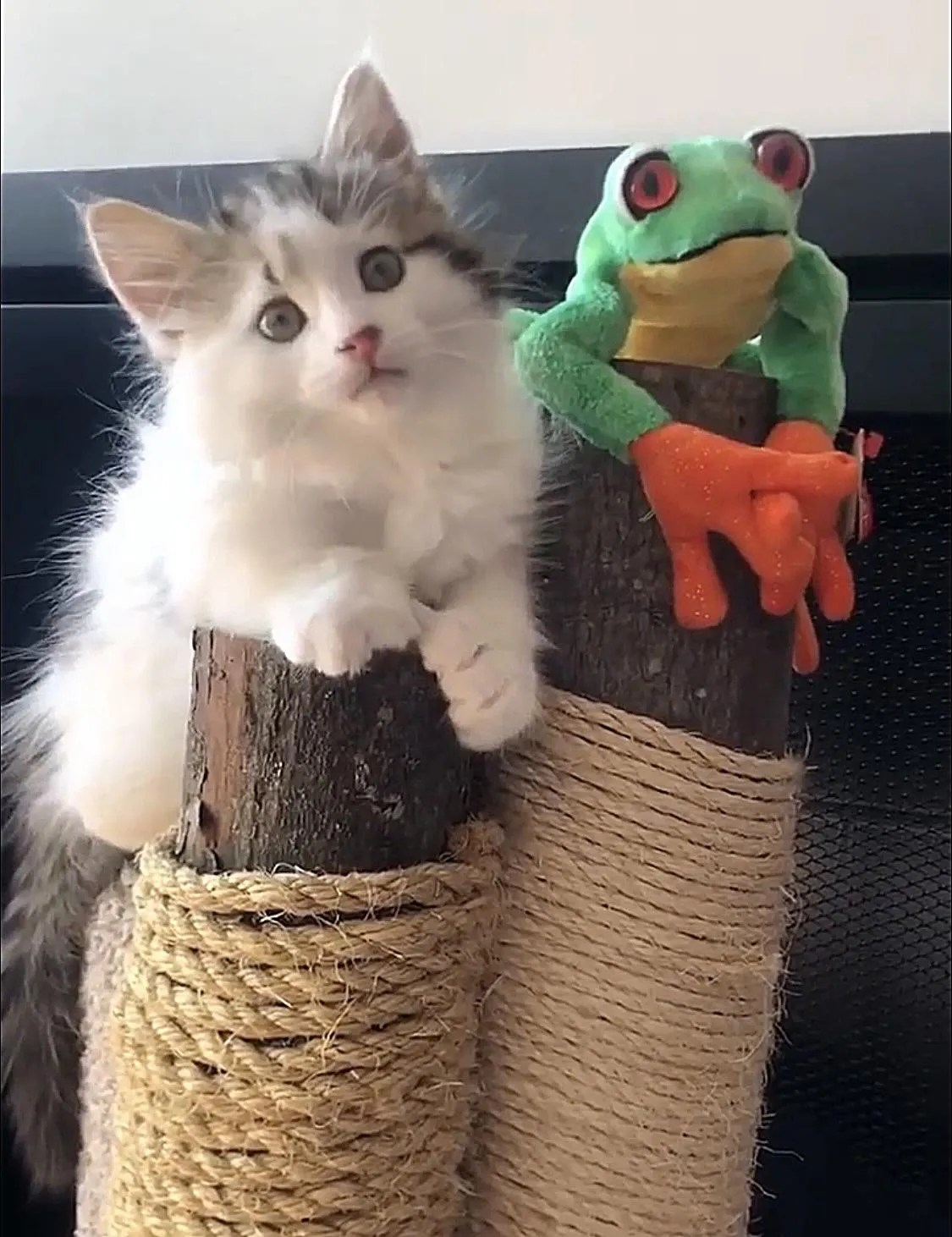 kitten and frog