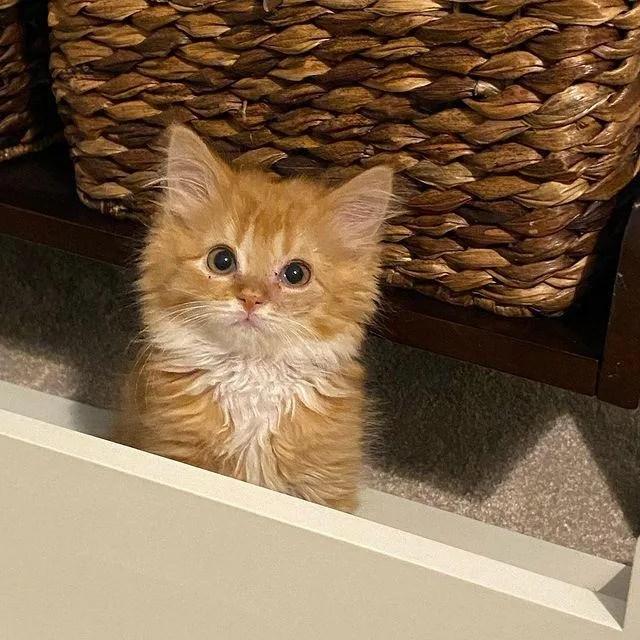 fluffy ginger kitten