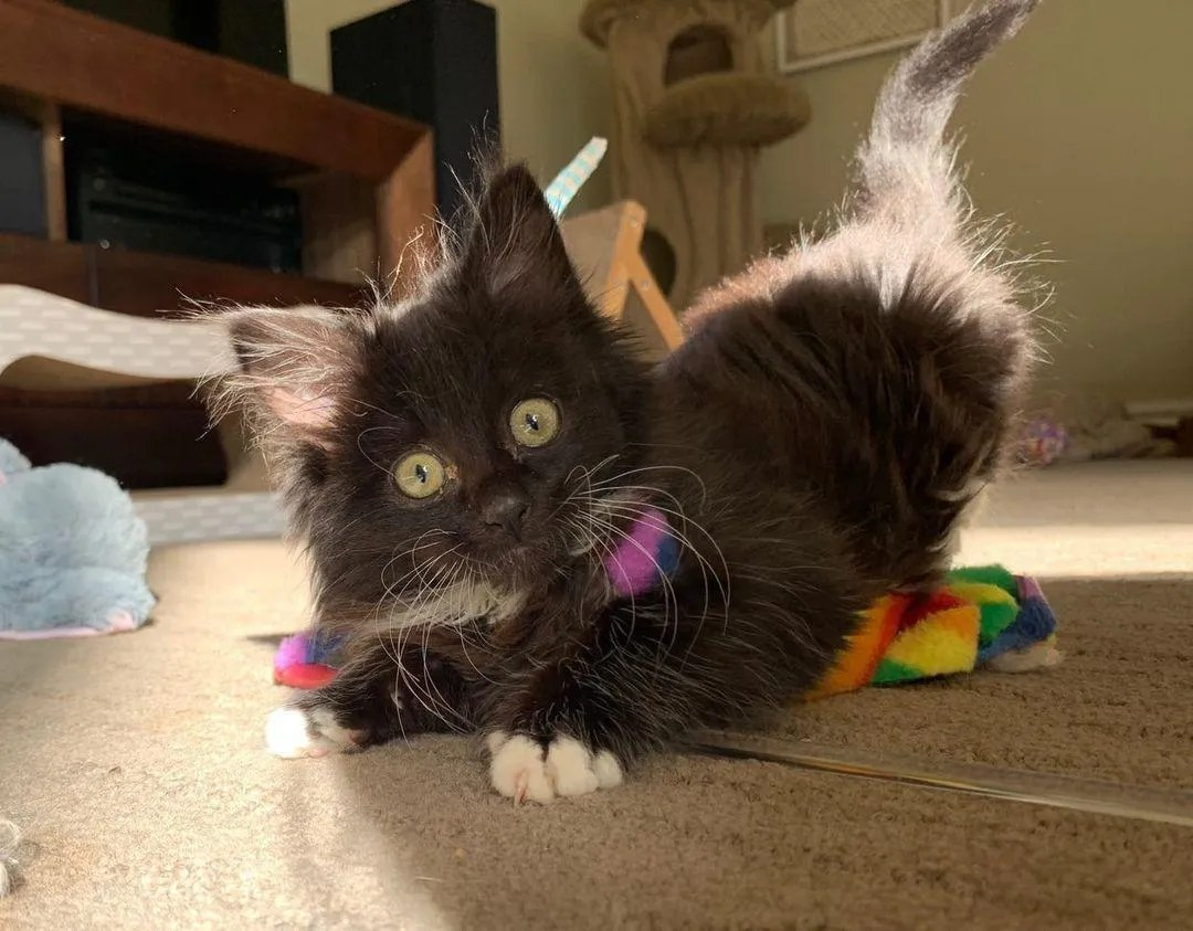 gatito juguetón de esmoquin