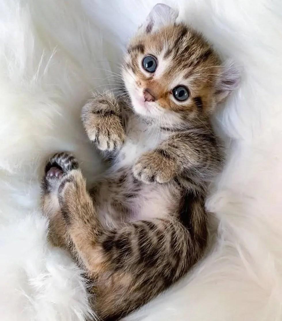 orejas de gatito rizadas