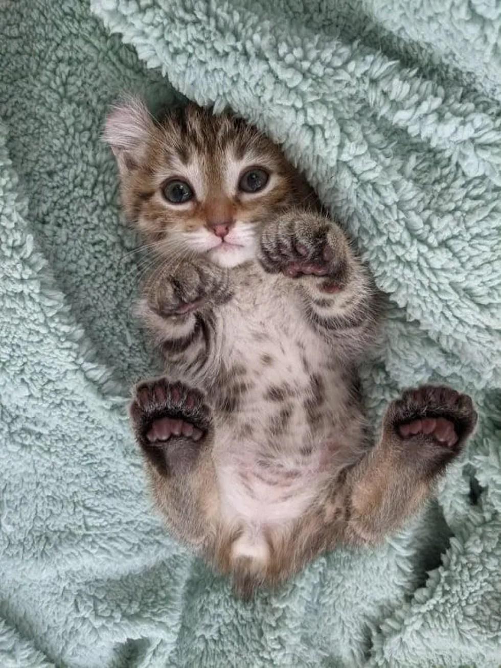 gatito polidactilo, orejas rizadas