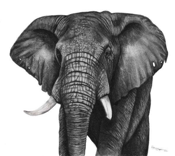 African Elephant Drawing Black and White