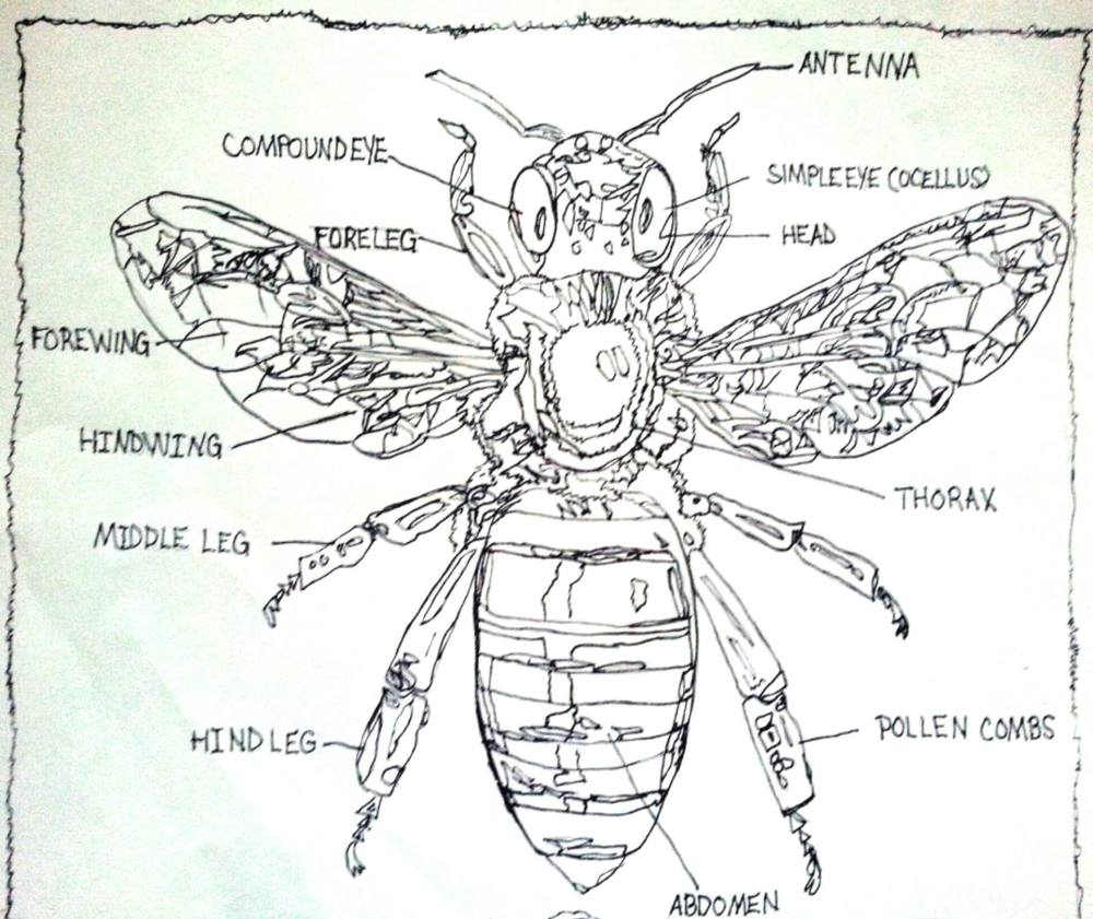 medium resolution of labeled diagram of the honey bee drawing by pamela starr saatchi art bee movie plot diagram