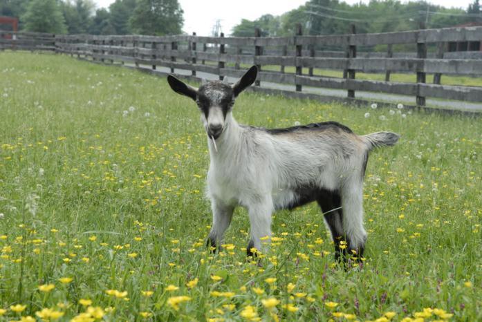 Frying Pan Farm Park - goat