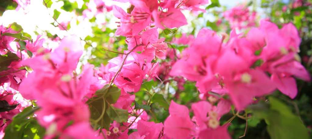 the bougainvillea flower guam