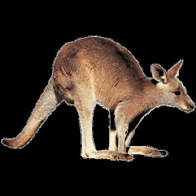 Kangaroo Right transparent PNG  StickPNG