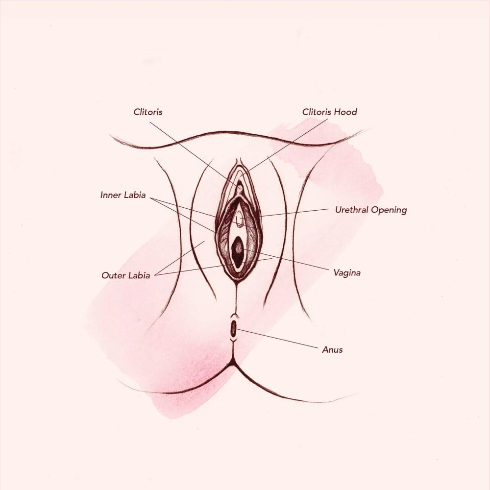 medium resolution of diagram of vagina
