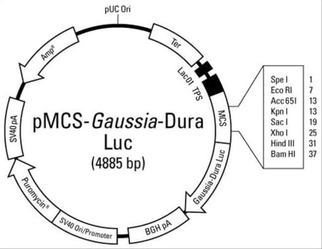 pMCS-Gaussia-Dura Luc Vector for Luciferase Assays