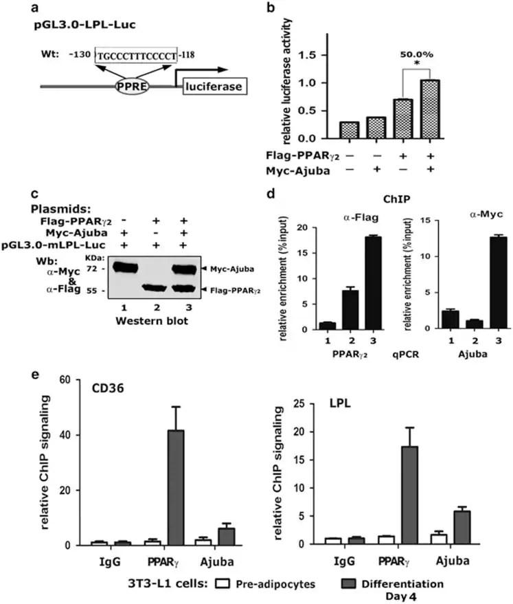 c-Myc Antibody (13-2500)