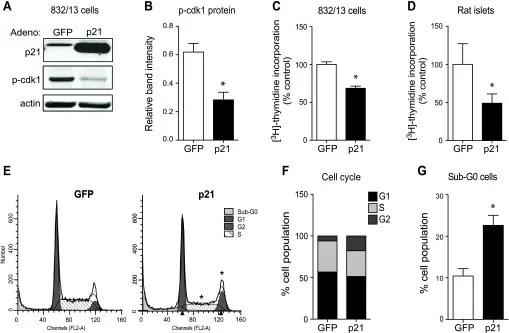 Phospho-CDK1 (Thr14, Tyr15) Antibody (44-686G)