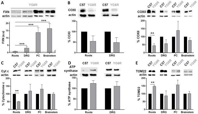 ATP Synthase alpha Antibody (Monoclonal, 7H10BD4F9)