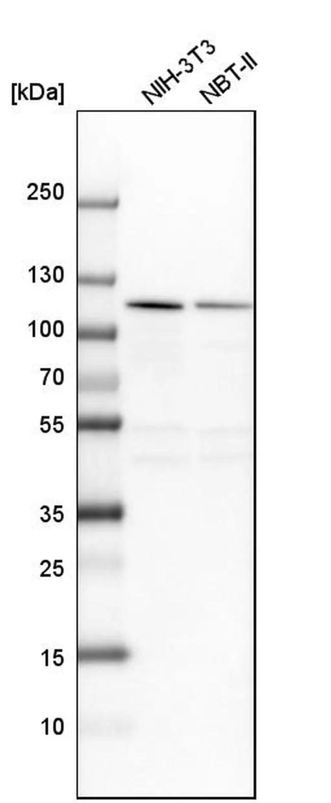NOP14 Antibody (PA5-58851)