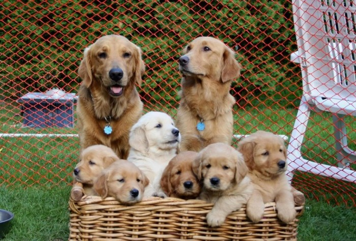 Golden retriever good family dog 11 high resolution wallpaper