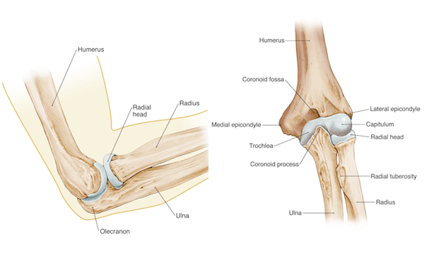 Elbow Arm anatomy