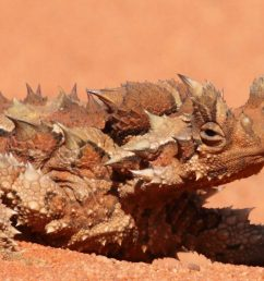 the creature feature 10 fun facts about the thorny devil [ 1483 x 1101 Pixel ]