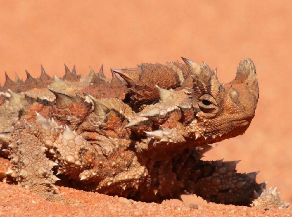 medium resolution of the creature feature 10 fun facts about the thorny devil