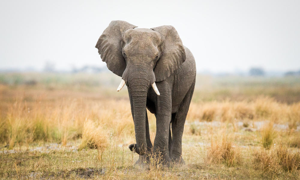 What Is Ivory And Why Does It Belong On Elephants