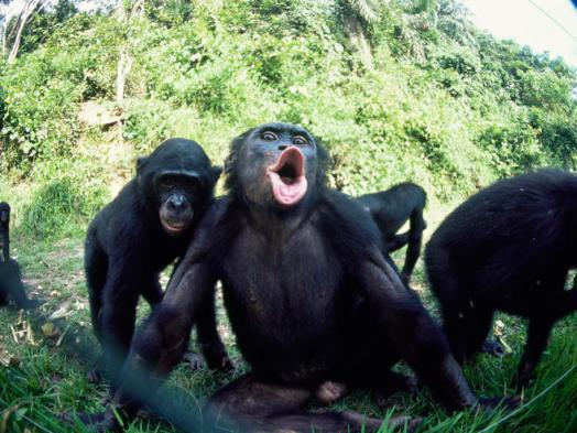 Resultado de imagen de bonobos