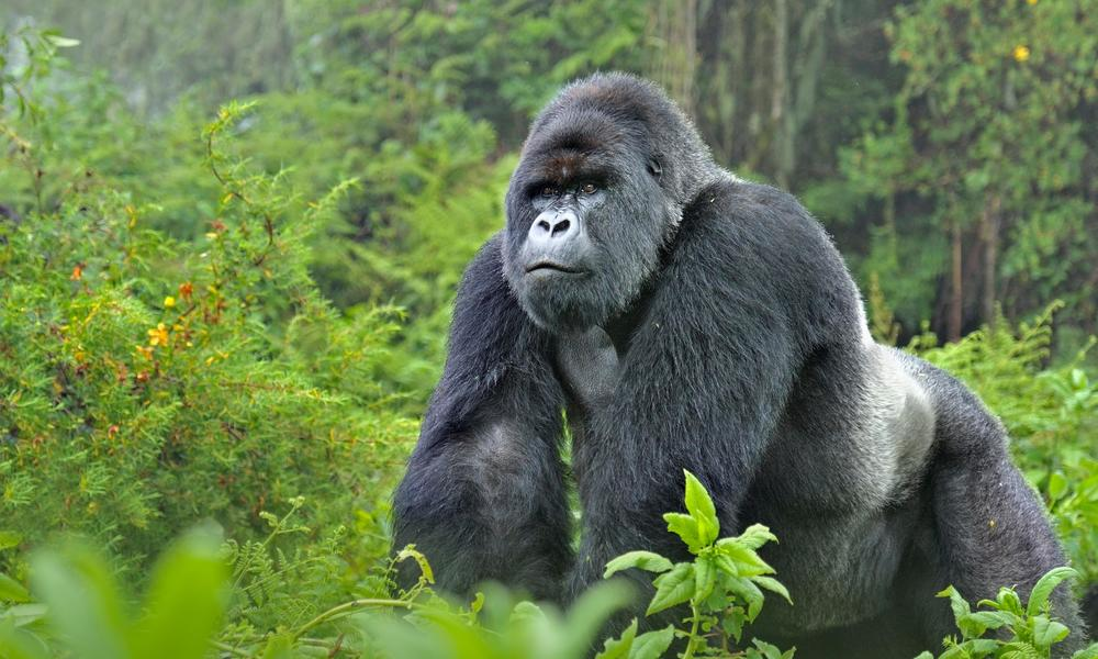 Mountain Gorilla Silverback WW22557