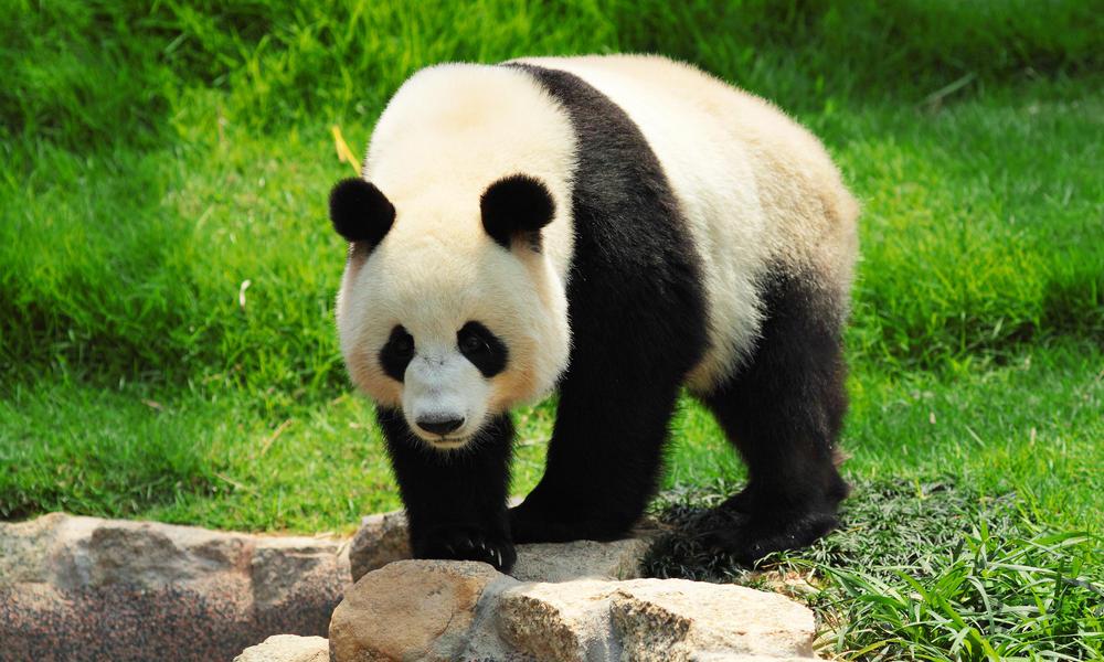 giant panda no longer