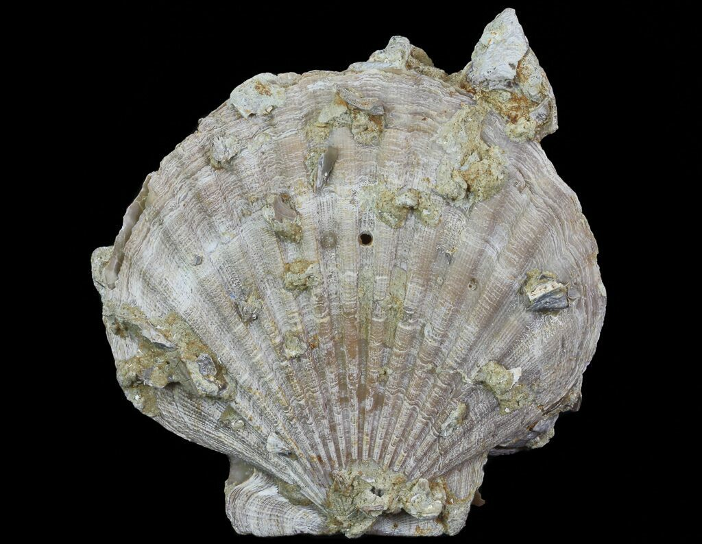 6 3 Fossil Pectin Chesapecten In Sandstone