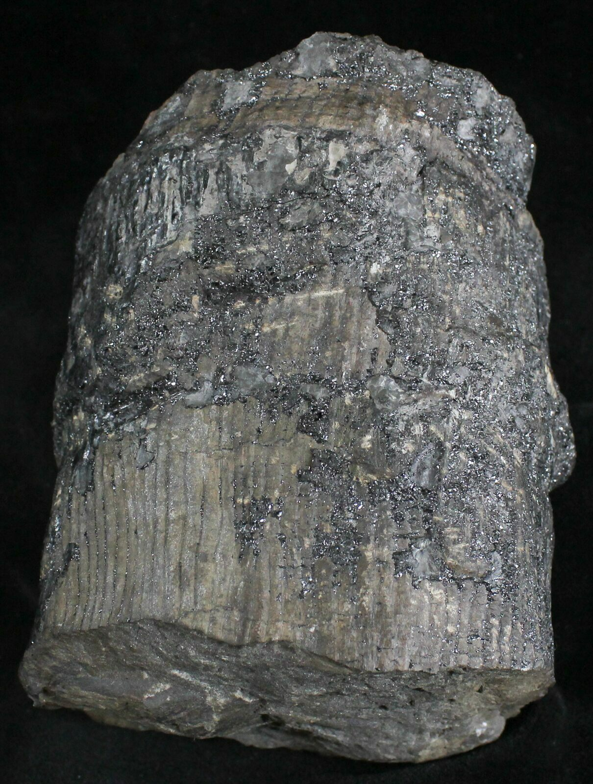 4 4 Fossil Calamites Trunk Section