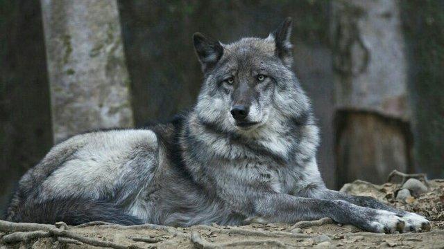 Alaskan Wolf Population