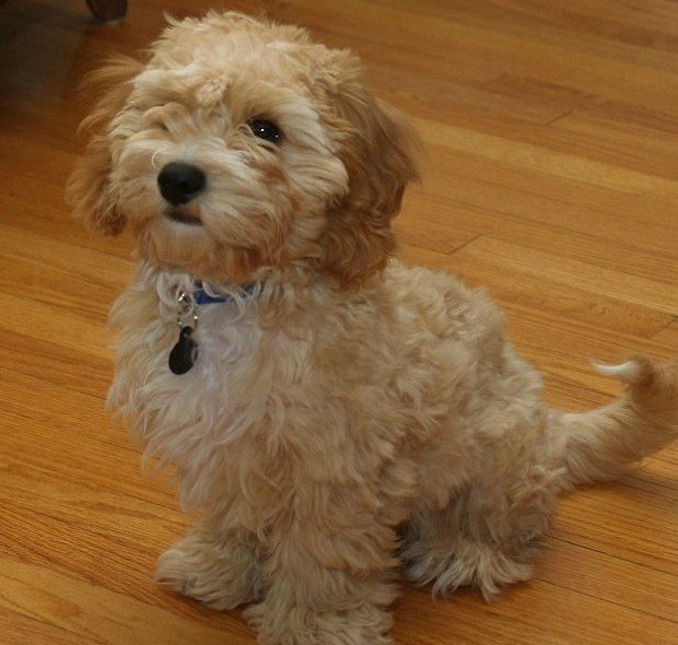 new dog breed promises