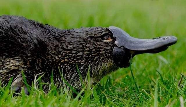 Platypus Animal Skyrim V