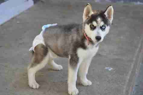 mini husky with special