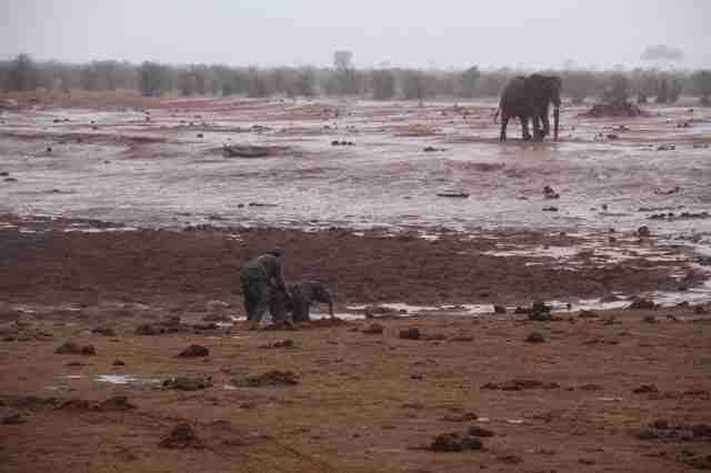 Guy saving baby elephant from mud pit