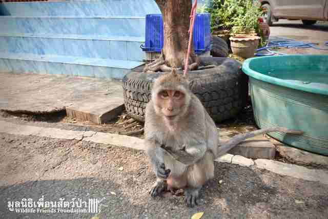 macaque who spent years