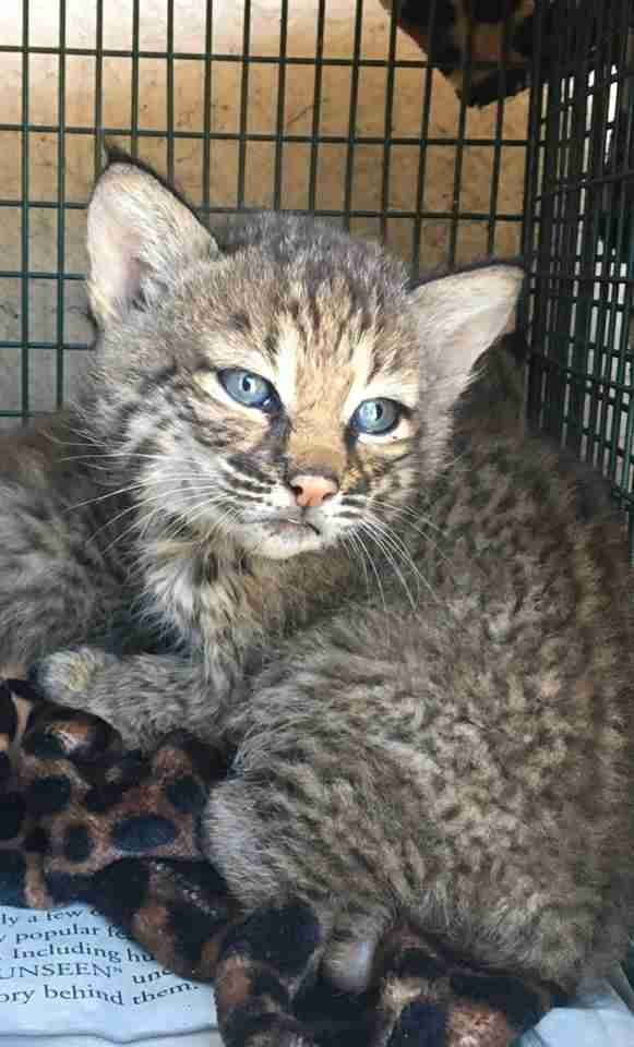 Texas Family Takes Bobcat Kittens From Wild To Be Their