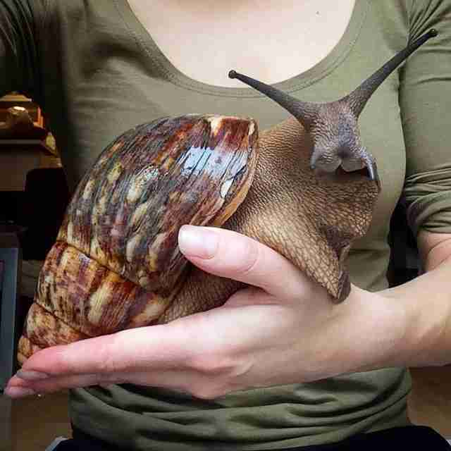 these giant snails are