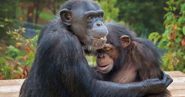 Lab Chimp Hugs Friend When They Go Outside For First Time