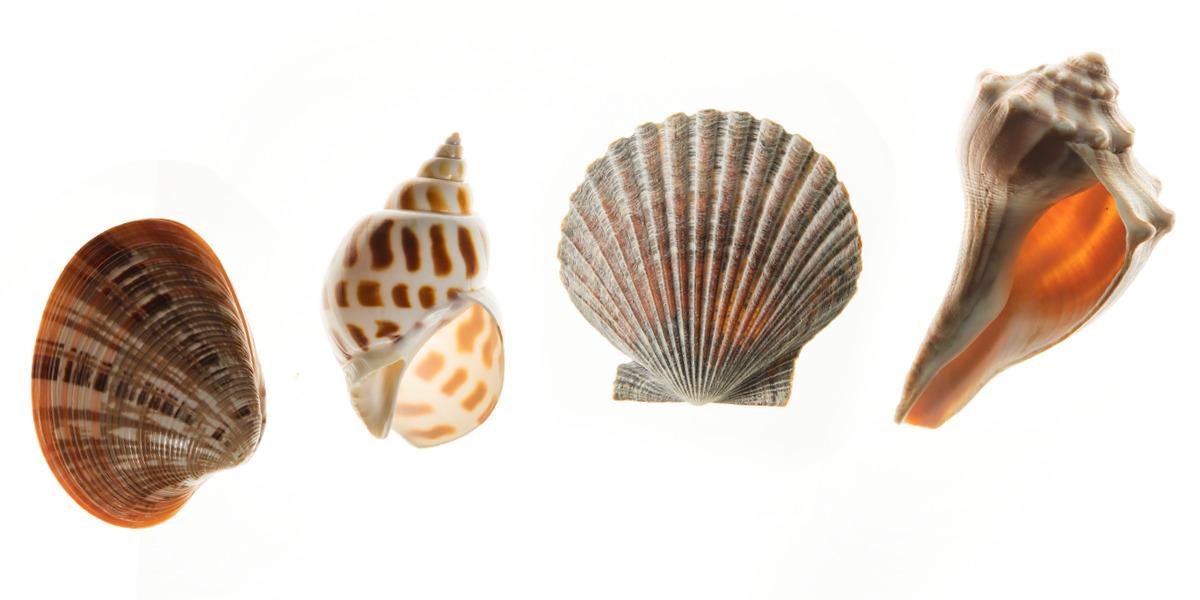the shape of seashells