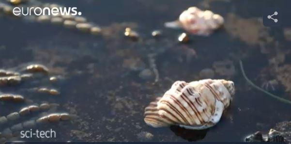Australie : des escargots de mer tueurs de cancer !