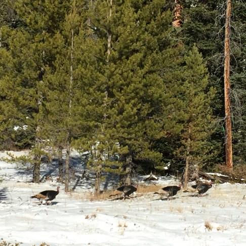 Go, turkeys, go!
