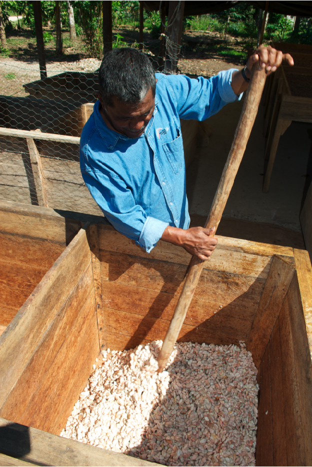 cocoa fermentation - chocolate