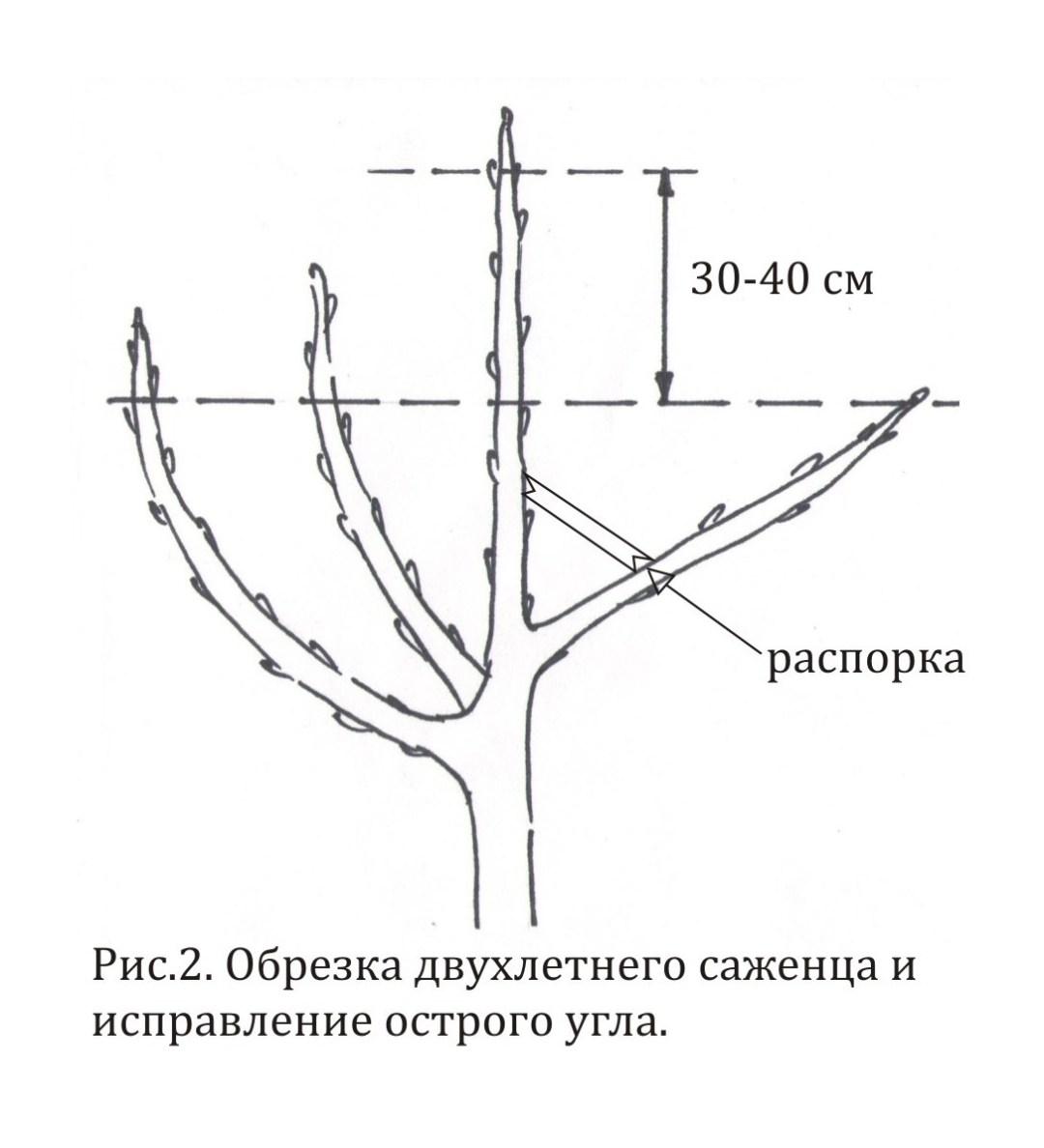 Формирующая обрезка плодовых деревьев