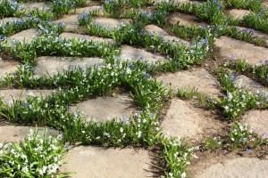 Мелколуковичные растения в щелях мощения.