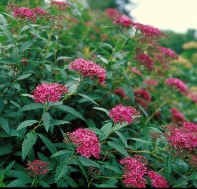Спирея японская (Spiraea japonica L.) 'Dart's Red'