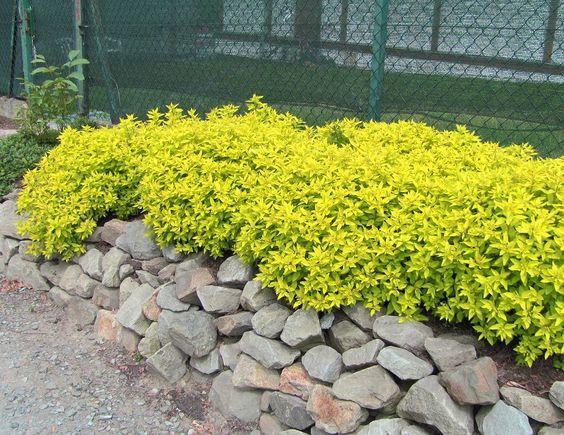 Спирея японская (Spiraea japonica L.) 'Golden Princess'