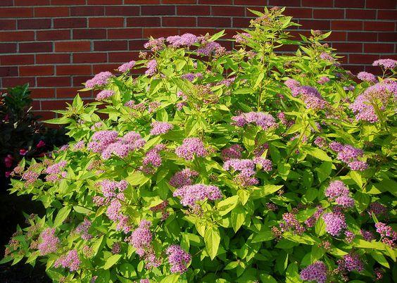 Спирея японская (Spiraea japonica L.) 'Goldmound'