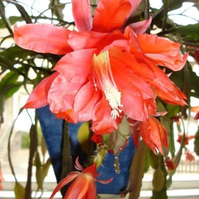 Blomsterkaktus